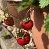 四季なりイチゴ  初収穫!