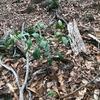 コショウノキ 冬の森の小さな木