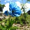【長野県】ヒマラヤの青いケシが見られる観光地まとめ