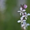タテに整列 小さな花がかわいらしい【マンテマ】 福岡県遠賀郡遠賀町 島津
