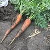 【はじめての畑】9月…秋野菜の始まりと『キメラ』という想定外の出来事