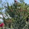 サルスベリがだんだん華やかに咲いて来ましたよ♫