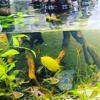 黄色い熱帯魚‼️ゴールデンハニードワーフグラミー🐟