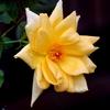 我が家の黄色のバラ