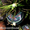 オリヅルランの花が咲いた