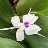 バンウコンの開花、パンジー/ビオラの種まき、冷凍ユリの植え付け、スパイダーリリーの蕾