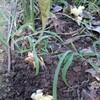 雨後の筍ならぬミョウガ