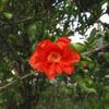 柘榴(ざくろ)の花と蟻(あり)