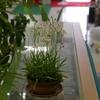 鷺草と綿のクリーム色の花