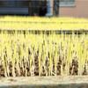 苗代に苗箱を並べたり播種したり。あぜ塗りしたり草刈したり。