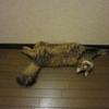 キジトラ猫 風ちゃんマジですか…。
