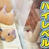 【ハムスター 動画】ハムスターが亡くなった、フリで飼い主に逆ドッキリ!Hamster magic cutting body!