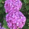 我家の紫陽花が満開です。