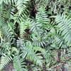 シダ植物の胞子