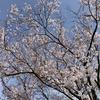 お墓参りと彼岸桜