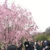 ニューヨークのおすすめ観光スポット、ブルックリン・ボタニカルガーデンで花見