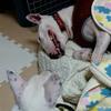 【怪我】【エリザベスカラー】半野良の猫ちゃんの怪我 ~エリザベスカラーが使えたら良かったのに~