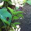 6月初旬の庭 その3