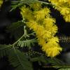 銀葉アカシア Acacia baileyana とミモザとネムの木と
