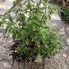 寄せ植えをする時は少しゆったりめに植えてあげる方が良いようです