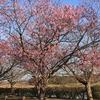 池花池・陽光桜咲く・・