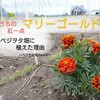 マリーゴールド植える。~家庭菜園にマリーゴールドを植えた理由~ベジヲタ畑 Day82~