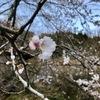 桜の花がやっと咲いた