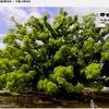 """日本一美しいと言われる""""寂心さんのクス"""" 「想像を超えちゃってるから,自然のものにはかないません.ちょとね---.こんなものが,この世に生きてるんだっていうのが」/ 「ねえ.すごい.すごいすごい.もう,いつもこの木のパワーをもらいに.とにかく,すごいでしょ?この根っこね.こんな木はないもん.はあ〜.ありがたい.ここに来られるだけでもありがたい」「競争相手!アハハハハハ.負けてなるかって.負けてなるかって.パワーをもらって」95歳の杉本フクノさん.樹齢800年の巨樹と共に生きている."""