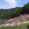 【仁淀川町】高知の桃源郷に花桃を見に行ってきました