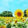 夏の青空と太陽と座間のひまわり畑