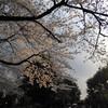 お花見@谷中霊園
