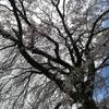 桜が満開に、季節の変わり目はわるい