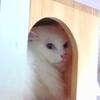 青い眼の男前猫さんがついに姿を!