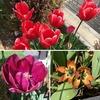 様々なチューリップ(一重咲き、八重咲き、原種系)が開花!【2021】