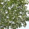 ハンカチの木となんじゃもんじゃの木を見学
