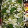 ドクダミ花のチンキ(ホワイトリカー)