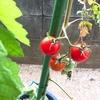 今年もゴーヤとプチトマトでけた