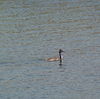 GWの探鳥②、葛西臨海公園・井の頭公園・石神井公園・光が丘公園の野鳥。