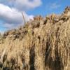 【稲刈り編】来年不耕起を広げるための方法、やり方