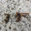 袋井市でハチの巣を駆除してきました