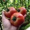 【初心者でも簡単】GWは子供と一緒にベランダでプランター家庭菜園を始めよう!