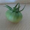 トマトの摘果をして、成長を促す