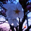 桜の枝についていた不思議なしずく