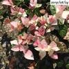 #10 ハツユキカズラ 過去最高にピンク色の葉が出現