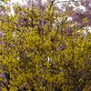 春の共演「河津桜」