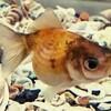 金魚の色が変わりました