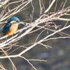 埼玉県の黒目川に住む鳥