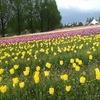 広島県世羅町にある世羅高原農場のチューリップ祭に行ってきました!75万本のチューリップは必見!心癒されました。