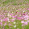 5分咲きほど:夢の平のコスモス