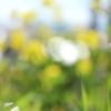 彩雲、菜の花、野の花